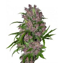 Purple Bud Automatic